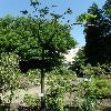SterculiaPlatanifolia.jpg 634 x 845 px 164.85 kB