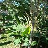 StrelitziaNicolai10.jpg 480 x 640 px 135.08 kB