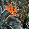 StrelitziaReginae2.jpg 1129 x 847 px 211.69 kB