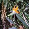 StrelitziaReginae8.jpg 1127 x 845 px 231.13 kB