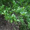 StyraxJaponicusKonig2.jpg 1024 x 768 px 203.16 kB