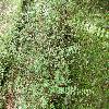 SymphoricarposChenaultii2.jpg 1127 x 845 px 374.64 kB