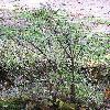 SymphoricarposChenaultii.jpg 576 x 768 px 179.18 kB