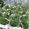 SyngonanthusChrysanthusMikado.jpg 638 x 850 px 175.11 kB