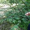 SyringaPinnatifolia.jpg 681 x 908 px 495.37 kB