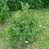 SyringaPubescensPatulaMissKim.jpg 1127 x 845 px 278.97 kB