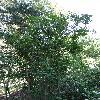 SyringaSweginzowii.jpg 720 x 960 px 514.16 kB