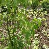 SyringaVulgarisAcubifolia2.jpg 1127 x 845 px 306.82 kB