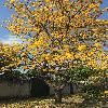 TabebuiaChrysantha2.jpg 696 x 928 px 491.34 kB