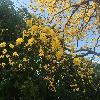 TabebuiaChrysantha.jpg 1024 x 768 px 280.54 kB