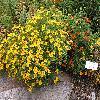 TagetesTenuifolia.jpg 1024 x 768 px 300.73 kB