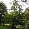 TaxodiumDistichum12.jpg 576 x 768 px 157.89 kB