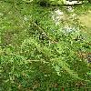 TaxodiumDistichum13.jpg 576 x 768 px 153.35 kB