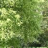 TaxodiumDistichum14.jpg 576 x 768 px 178.82 kB