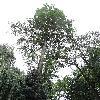 TaxodiumDistichum3.jpg 684 x 912 px 247.02 kB