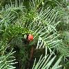 TaxusBaccata3.jpg 1024 x 768 px 168.95 kB