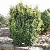TaxusBaccata4.jpg 576 x 768 px 170.65 kB
