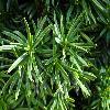 TaxusBaccataFastigiataVariegata2.jpg 1024 x 768 px 154.2 kB