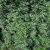 TaxusBaccataOvereynderi2.jpg 720 x 960 px 536.92 kB