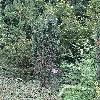 TaxusBaccataPirat.jpg 720 x 960 px 604.81 kB