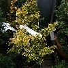 TaxusBaccataSemperaurea.jpg 612 x 816 px 155.81 kB