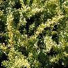 TaxusBaccataSummergold.jpg 1120 x 840 px 333.73 kB