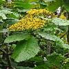TelanthophoraGrandifolia.jpg 600 x 903 px 431.75 kB