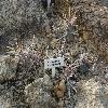 TephrocactusArticulatusHademontus.jpg 1024 x 768 px 265.75 kB