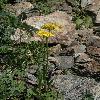 TephroserisIntegrifolia.jpg 532 x 800 px 338.57 kB