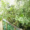 TetradeniaRiparia.jpg 1024 x 768 px 265.66 kB