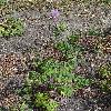 ThalictrumAquilegiifolium.jpg 681 x 908 px 526.21 kB