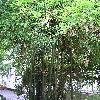 ThamnocalamusFalcomeri.jpg 576 x 768 px 195.08 kB