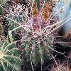 ThelocactusHamatocanthus3.jpg 640 x 480 px 176.04 kB