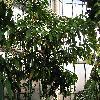 TheobromaCacao.jpg 1024 x 768 px 245.57 kB