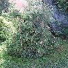 ThujaOccidentalisFiliformis.jpg 576 x 768 px 180.6 kB