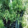 ThujopsisDolabrata3.jpg 1127 x 845 px 277.66 kB
