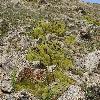 ThylacospermumCaespitosum2.jpg 1200 x 797 px 577.5 kB