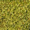 ThylacospermumCaespitosum3.jpg 1200 x 900 px 597.44 kB