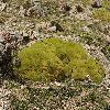 ThylacospermumCaespitosum.jpg 1200 x 797 px 584.72 kB
