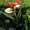 TigridiaPavonia.jpg 640 x 910 px 317.64 kB