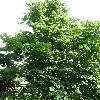 TiliaAmericanaNova.jpg 630 x 840 px 173.39 kB