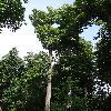 TiliaCordata3.jpg 681 x 908 px 408.91 kB