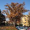 TiliaCordata5.jpg 642 x 856 px 233.19 kB
