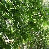 TiliaPlatyphyllosAurea.jpg 1127 x 845 px 295.71 kB