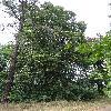 TiliaPlatyphyllos.jpg 681 x 908 px 438.7 kB