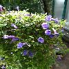 ToreniaAsiatica2.jpg 720 x 960 px 367.18 kB