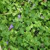 ToreniaFournieri2.jpg 1127 x 845 px 168.8 kB