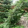TorreyaCalifornica3.jpg 630 x 840 px 203.36 kB