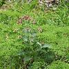 TrachelanthusKorolkowii.jpg 800 x 1204 px 596.79 kB