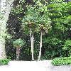 Trachycarpus17.jpg 616 x 820 px 162.14 kB